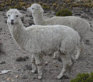 alpacas 1