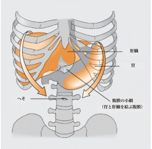 Movement of organs in breathing